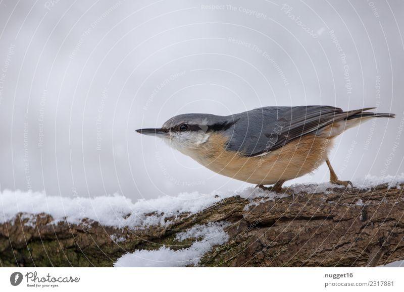 Kleiber im Schnee Umwelt Natur Tier Winter Eis Frost Schneefall Baum Ast Garten Park Wald Wildtier Vogel Tiergesicht Flügel Krallen 1 Aggression ästhetisch
