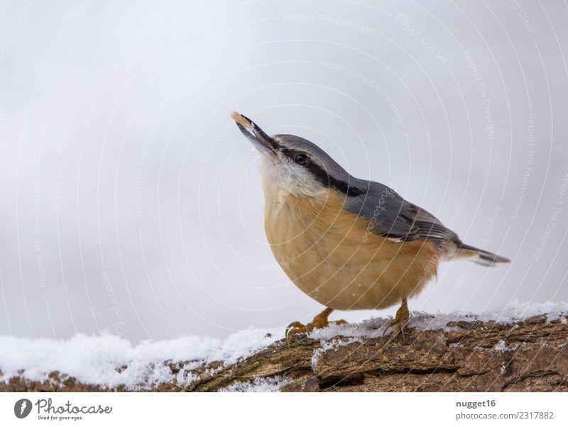 Kleiber im Schnee Umwelt Natur Tier Winter Eis Frost Schneefall Ast Garten Park Wald Wildtier Vogel Tiergesicht Flügel Krallen 1 ästhetisch authentisch Coolness