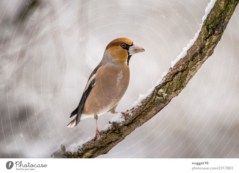 Kernbeißer auf Ast Umwelt Natur Tier Winter Eis Frost Schnee Schneefall Baum Garten Park Wald Wildtier Vogel Tiergesicht Flügel Krallen 1 ästhetisch authentisch