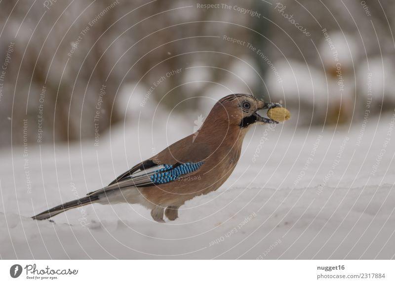 Eichelhäher im Schnee Umwelt Natur Tier Winter Klima Wetter Eis Frost Schneefall Erdnuss Garten Park Wiese Wald Wildtier Vogel Tiergesicht Flügel Krallen 1