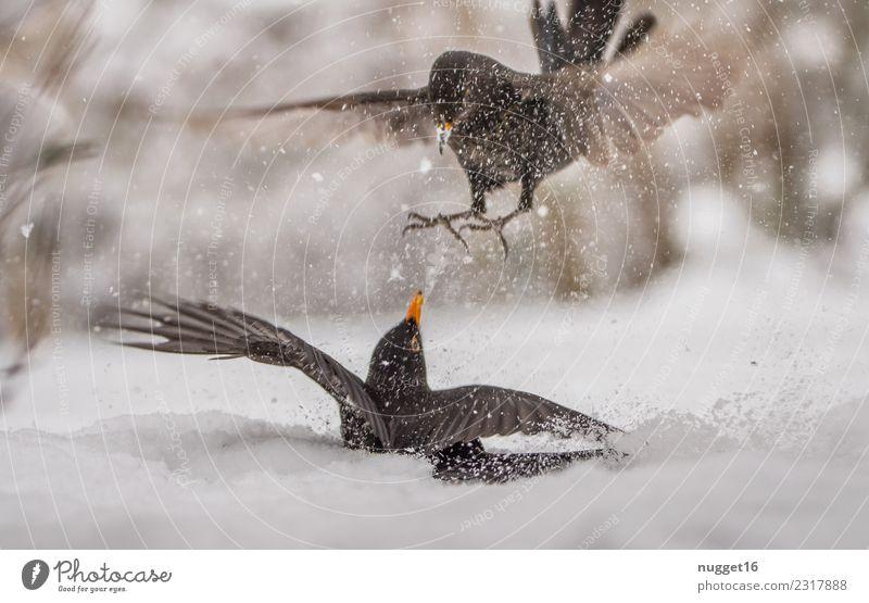 Futterneid unter Amseln Umwelt Natur Tier Winter Wetter Eis Frost Schnee Schneefall Sträucher Garten Park Wald Wildtier Vogel Tiergesicht Flügel Krallen 2