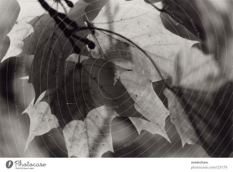 grauer herbst Baum Blatt Herbst Ahorn