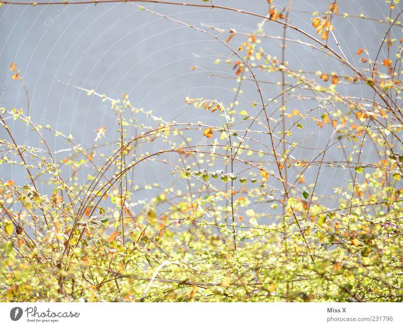 Triebe Natur Frühling Pflanze Sträucher Blatt Blühend Wachstum zartes Grün filigran Ast Zweige u. Äste Farbfoto Außenaufnahme Menschenleer Textfreiraum links