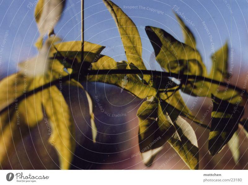 klettermax grün Blatt Fenster Ranke Passionsblume