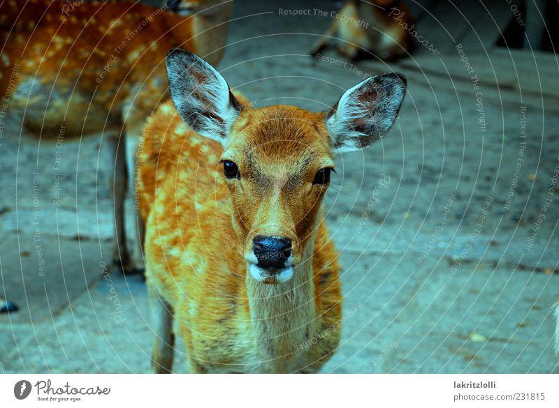 The japanese deer Wildtier 1 Tier friedlich Vorsicht Gelassenheit ästhetisch Natur Außenaufnahme Nahaufnahme Blick in die Kamera Tierporträt Reh