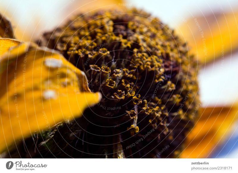 Echinacea paradoxa Roter Sonnenhut gelb Blume Blüte trocken getrocknet vertrocknet Herbarium Blütenblatt Nahaufnahme Detailaufnahme