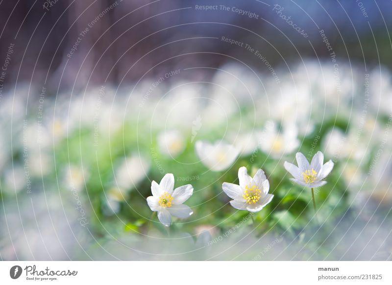 softies Natur Frühling Pflanze Blume Wildpflanze Buschwindröschen Frühlingsblume Frühlingsfarbe Frühblüher Kitsch klein natürlich schön Frühlingsgefühle