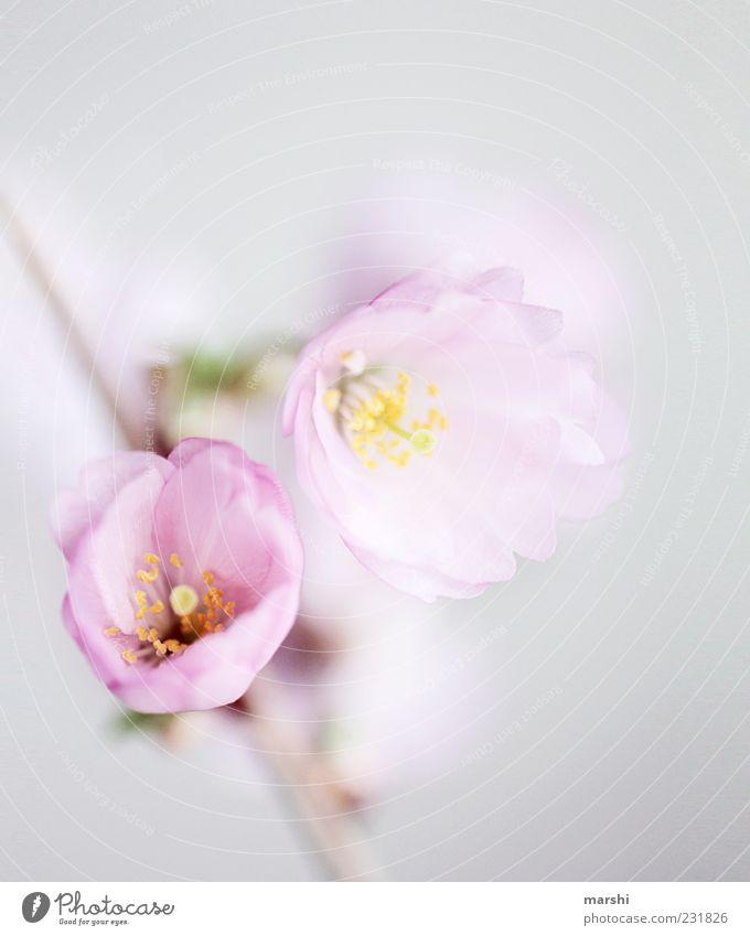 ein Hauch Frühling Natur Pflanze Blume Blüte rosa Kirschblüten zart Weiche Unschärfe Nahaufnahme Schwache Tiefenschärfe Textfreiraum oben Farbfoto