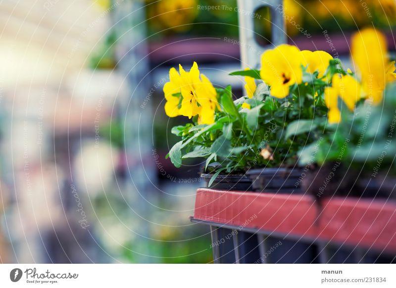 Pflanzzeit Dekoration & Verzierung Gärtnerei Handel Marktstand Natur Frühling Pflanze Blume Blatt Blüte Gartenbau Stiefmütterchen Blumentopf Verpackung