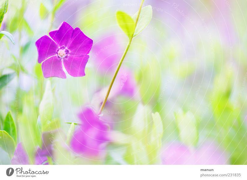 Mädchenfrühling Natur grün schön Pflanze Blume Blatt Blüte Frühling hell rosa violett Frühlingsgefühle Licht Frühlingsblume Frühlingsfarbe
