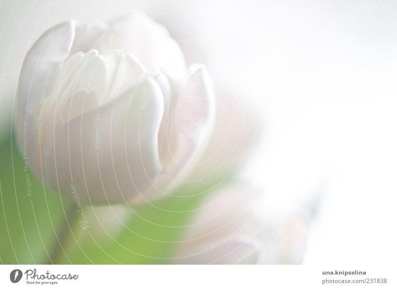 weiß Blume Tulpe Blüte Blühend grün zart Blütenblatt Unschärfe Textfreiraum rechts Farbfoto Gedeckte Farben Nahaufnahme Menschenleer Licht Gegenlicht