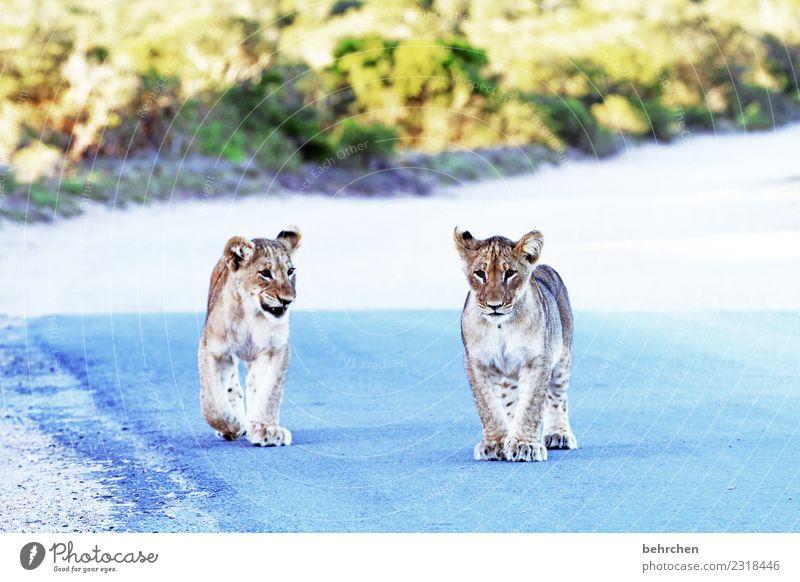 wilde jungs Ferien & Urlaub & Reisen Tourismus Ausflug Abenteuer Ferne Freiheit Safari Südafrika addo elephant national park Wildtier Tiergesicht Fell Pfote