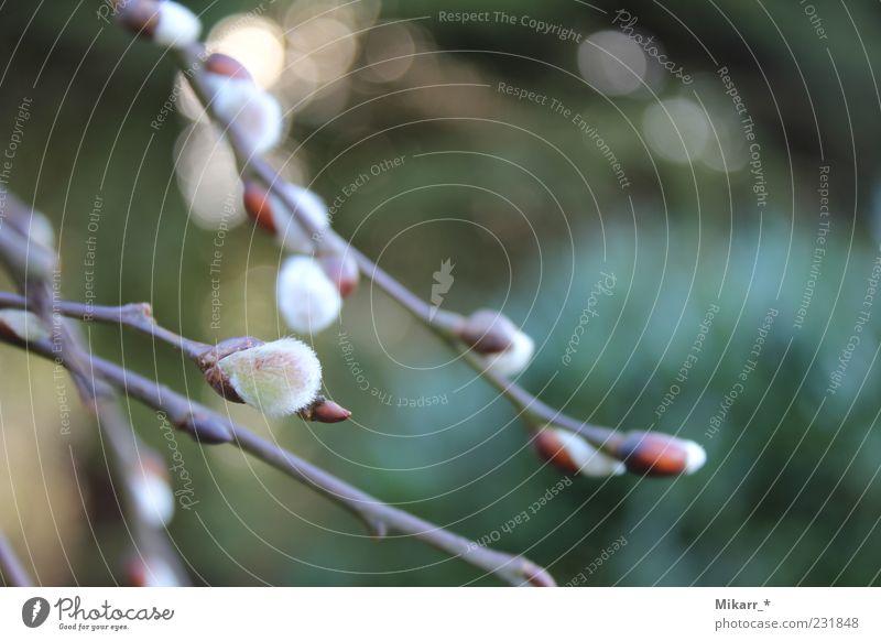 vorboten des frühlings Natur Frühling Pflanze Baum Weidenkätzchen Garten Vorfreude sanft zart Außenaufnahme Makroaufnahme Blütenknospen Zweige u. Äste weich