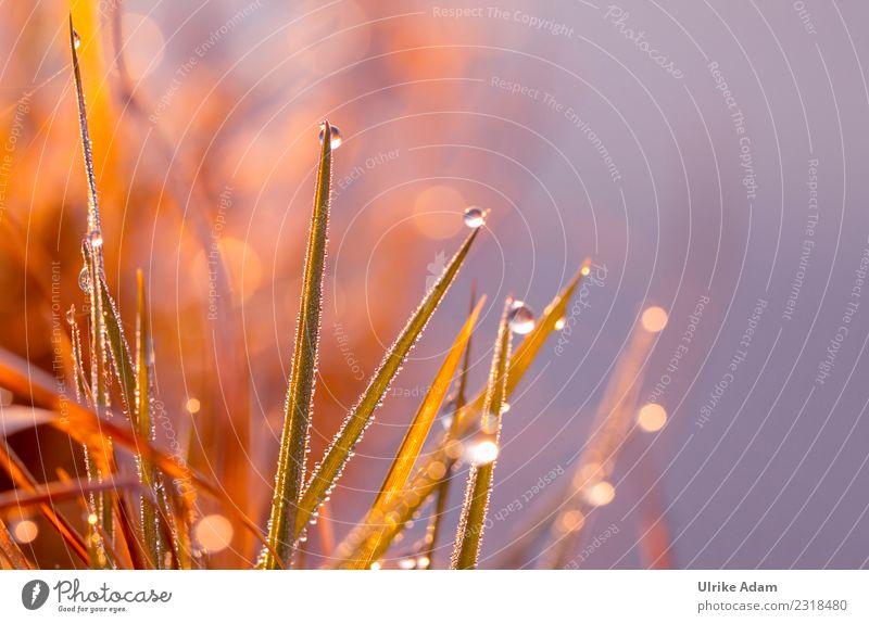 Tropfen am Grashalm im Gegenlicht Natur Pflanze Wassertropfen Frühling Sommer Herbst Regen Halm Wiese glänzend leuchten natürlich Trauer filigran Makroaufnahme