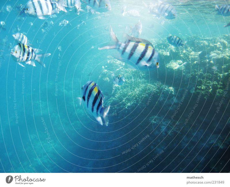schwimmst du öfter hier? blau Wasser Meer Sommer hell Schwimmen & Baden nass Fisch Tiergruppe tauchen exotisch Wasseroberfläche Schwarm Riff Korallen Aktion