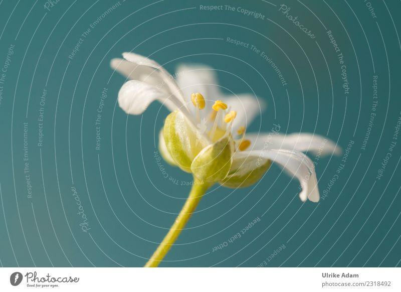 Blüte der Sternmiere (Stellaria) Natur Pflanze Sommer schön grün weiß Blume Erholung Frühling Wiese elegant Geburtstag Blühend Hochzeit Ostern