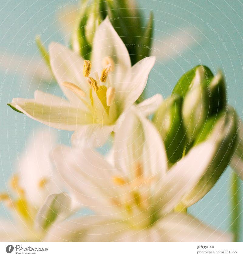 sparkling spring Umwelt Natur Pflanze Frühling Blume Blüte Blühend Wachstum ästhetisch weiß Blütenknospen Blütenstempel Pflanzenteile Blütenblatt Stern (Symbol)