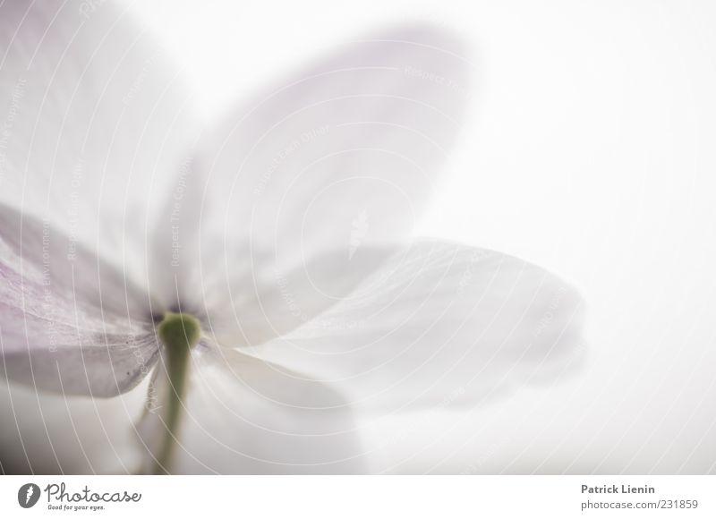 For today I am a flower Umwelt Natur Pflanze Urelemente Frühling Blume Blüte hell schön einzigartig weich Botanik Buschwindröschen natürlich zart Farbfoto