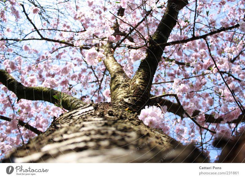 cherry blossom Natur schön Baum Pflanze Blatt Holz Blüte Frühling hell rosa frisch Wachstum Blühend Baumstamm Frosch Baumrinde