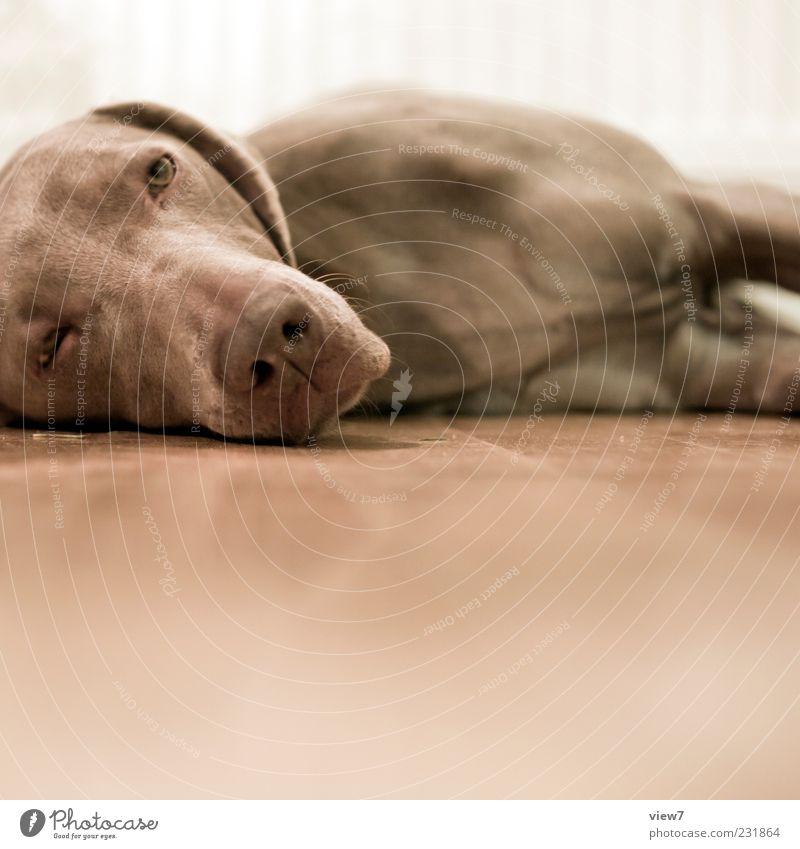 k.o. Tier Haustier Hund Tiergesicht 1 Holz beobachten Erholung genießen liegen Blick Traurigkeit ästhetisch authentisch einfach braun Weimaraner faulenzen