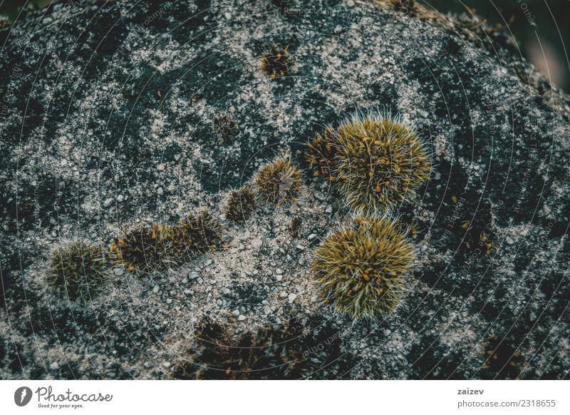 Moos auf altem Stein mit dunklen Farben Kräuter & Gewürze Design Umwelt Natur Pflanze Gras Felsen Beton Wachstum dreckig frisch klein natürlich weich grün