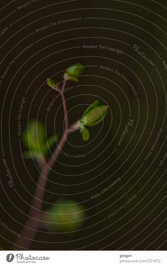 emptiness still leaves a space Natur grün Pflanze Blatt dunkel Frühling natürlich Wachstum elegant zart Zweig Grünpflanze Blattknospe verzweigt austreiben