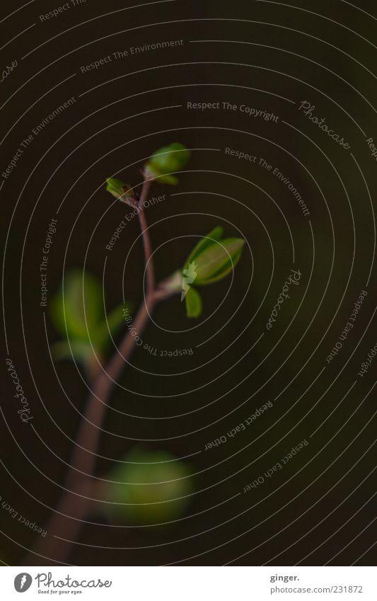 emptiness still leaves a space Natur Pflanze Frühling Blatt Grünpflanze dunkel elegant natürlich grün Zweig Blattknospe Wachstum austreiben verzweigt