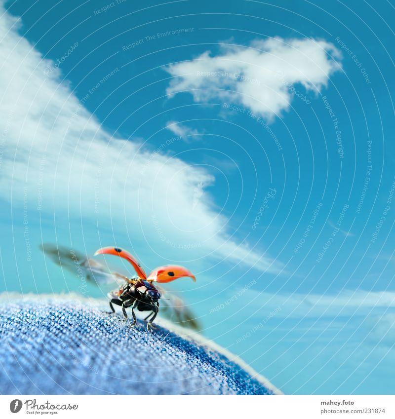 Durchstarten blau rot Wolken Freiheit Flügel Stoff Neugier Tier Schönes Wetter Jeansstoff Abheben Leichtigkeit Käfer Fernweh Marienkäfer Makroaufnahme