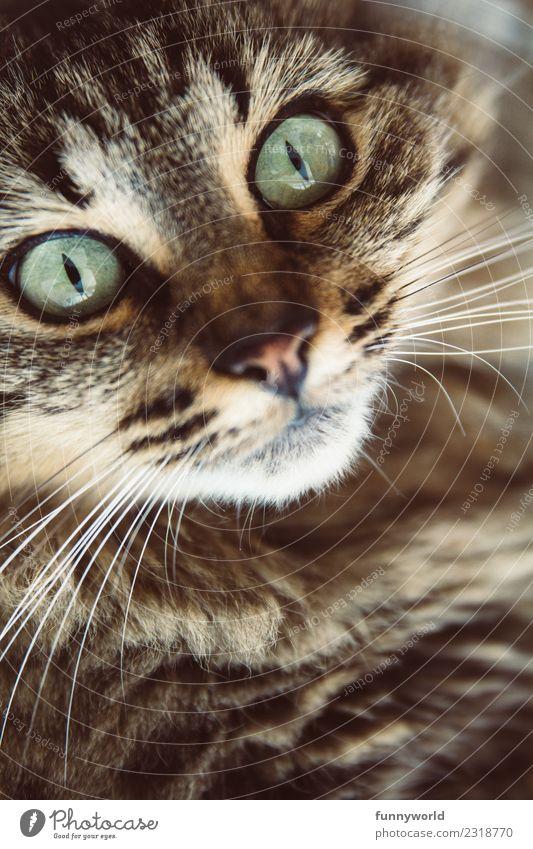 Getigerte Katze mit günen Augen Tier Haustier Tiergesicht 1 glänzend bedrohlich wild weich Fell Tigerfellmuster grün türkis Schnauze Katzenauge Schnurrhaar