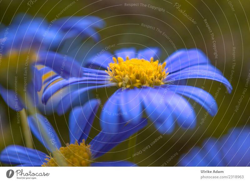 Blaue Margerite Wellness Muttertag Ostern Geburtstag Natur Pflanze Frühling Sommer Blume Blüte Blühend weich blau Frühlingsgefühle filigran zart Makroaufnahme