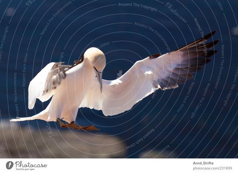 Basstölpel Natur Luft Küste Nordsee Vogel Flügel 1 Tier fliegen Landen Dynamik majestätisch elegant Farbfoto Außenaufnahme Nahaufnahme Menschenleer Tag