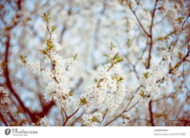 fRühLiNg! Umwelt Natur Frühling Baum Nutzpflanze Garten blau grün weiß Kirschbaum Kirschblüten Blüte Blühend Ast Zweige u. Äste leicht Farbfoto Gedeckte Farben