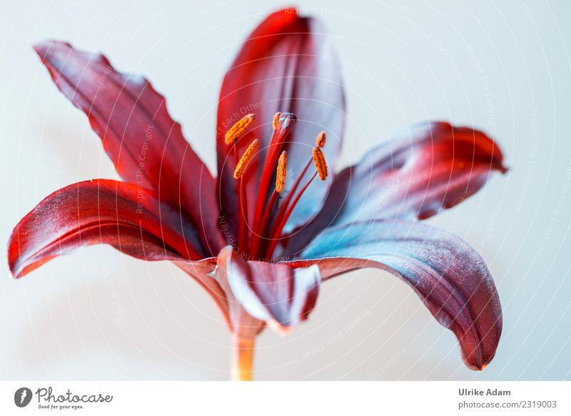 Makro einer dunkelroten Lilie Natur Pflanze Sommer blau Blume Erholung ruhig Winter Leben Herbst Blüte Frühling außergewöhnlich Zufriedenheit elegant
