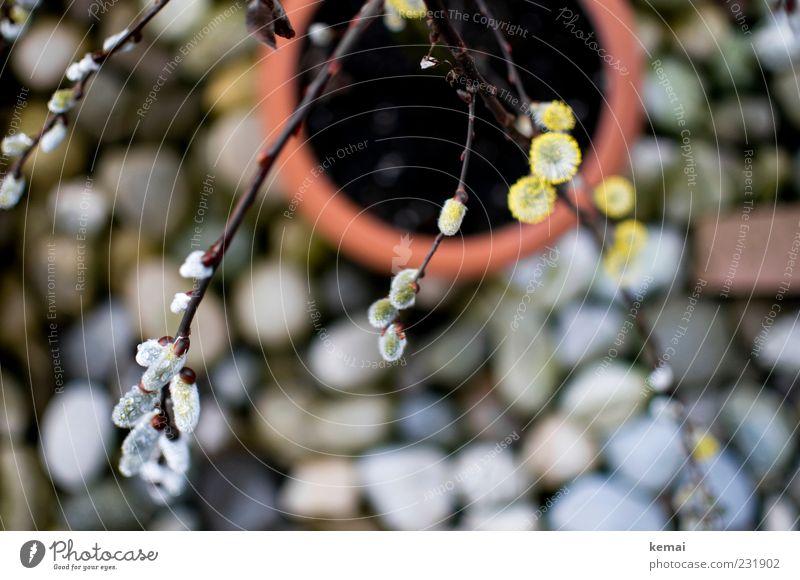 Kurz vorm Frühling (II) Umwelt Natur Pflanze Schönes Wetter Sträucher Blüte Topfpflanze Weidenkätzchen Zweig Garten Blühend Wachstum nass Stein Terrasse