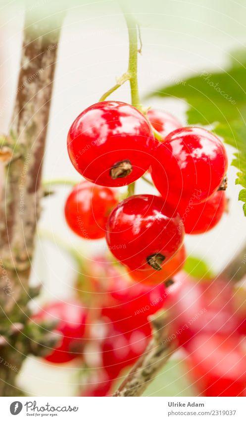 Sommer - Sonne - Beerenzeit Natur Gesunde Ernährung Pflanze rot Lifestyle Gesundheit natürlich Garten Frucht leuchten Dekoration & Verzierung glänzend frisch