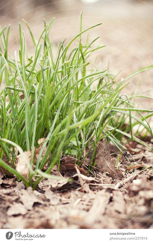 IIIII Umwelt Natur Erde Frühling Pflanze Gras Blatt Wachstum natürlich grün Grasbüschel Sonnenlicht Halm Textfreiraum unten Textfreiraum rechts Detailaufnahme