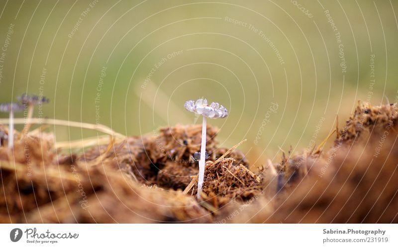 The first mushrooms I've seen this year were on a dunghill. Natur weiß Pflanze klein braun ästhetisch außergewöhnlich Wachstum authentisch Boden einfach dünn