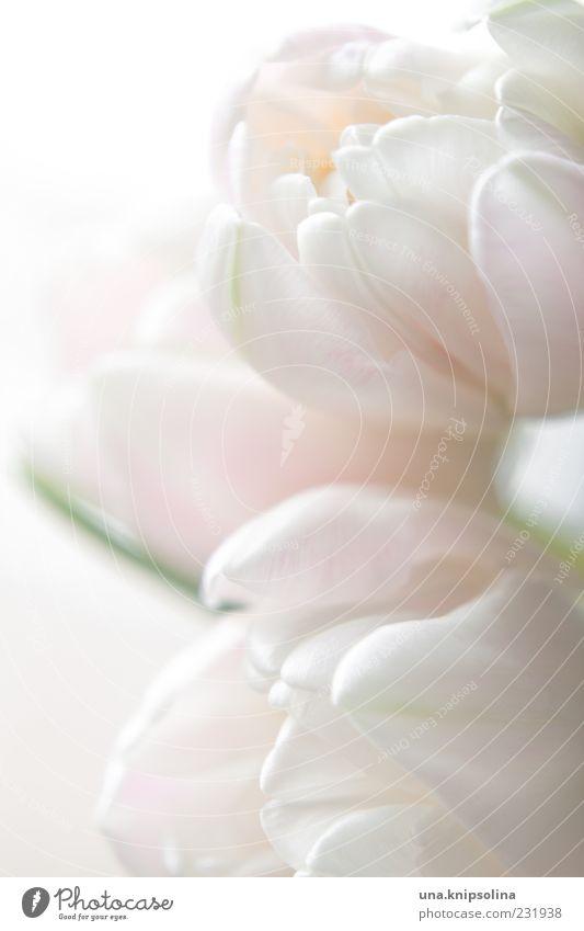 zart Natur Pflanze Frühling Blume Tulpe Blüte Blühend hell rosa weiß Blütenblatt Farbfoto Gedeckte Farben Nahaufnahme Detailaufnahme Menschenleer