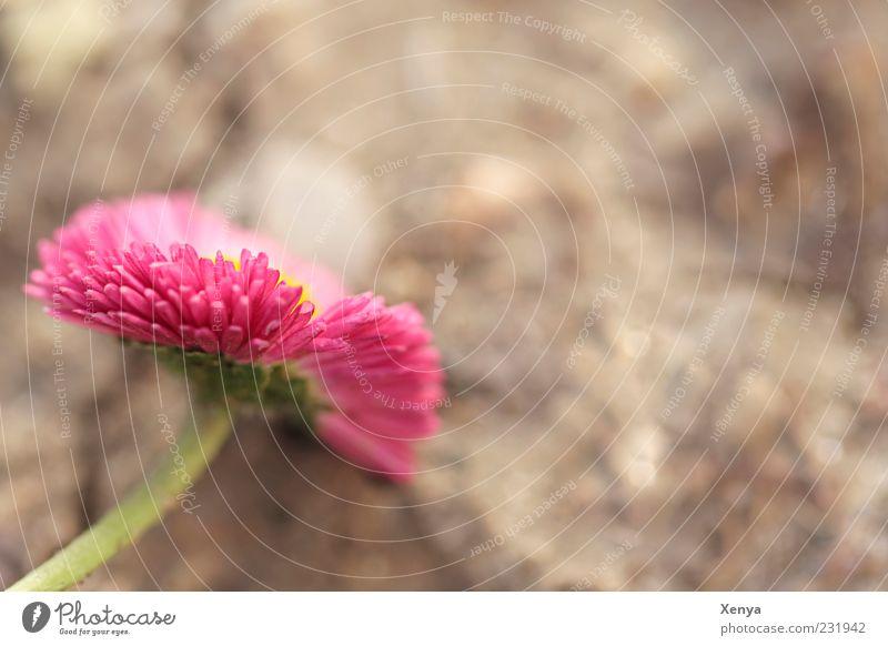 Rosa Pflanze Blume Blüte Gänseblümchen grün rosa Frühlingsgefühle Farbfoto Außenaufnahme Makroaufnahme Textfreiraum rechts Textfreiraum oben Tag Unschärfe