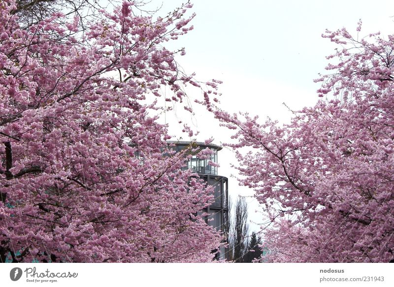 Kirschblütenzauber Natur Sommer Erholung Blüte Frühling rosa Fassade Blühend Göttingen Duft harmonisch Kirsche Kirschblüten Frühlingsgefühle Universität Göttingen