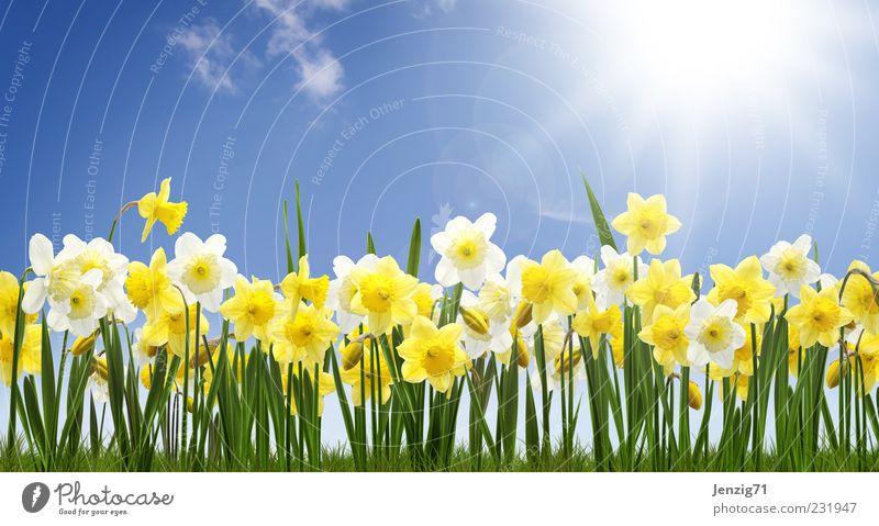 Narzissenfeld. Natur Pflanze Himmel Sonne Schönes Wetter Blume Blüte Wiese blau gelb grün Frühlingsgefühle Gelbe Narzisse Frühblüher Blumenbeet Blumenfeld