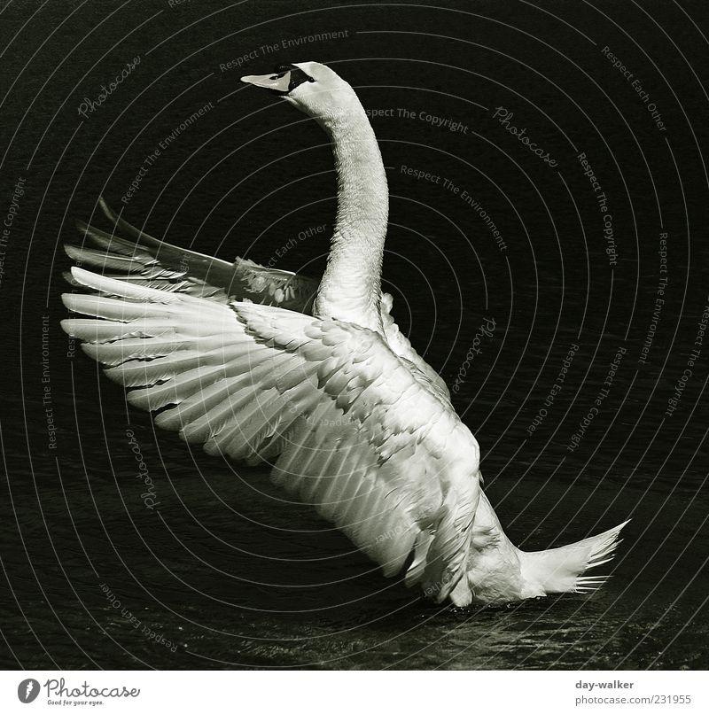 Schwanentanz Natur Wasser weiß schön Tier schwarz grau Kraft glänzend Wildtier Beginn ästhetisch Flügel Feder Dynamik silber