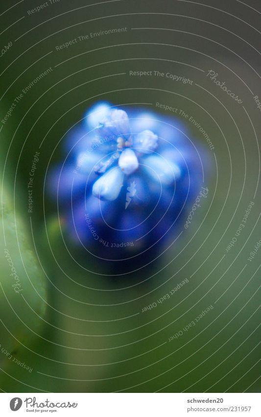 at the top Natur Pflanze Frühling Sommer Blume Blüte Blühend Duft Wachstum ästhetisch schön blau grün Frühlingsgefühle Umwelt Farbfoto Außenaufnahme