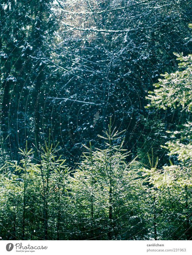 Schnee im Frühling Natur blau grün Wald Schneefall Nadelwald Niederschlag Düsterwald