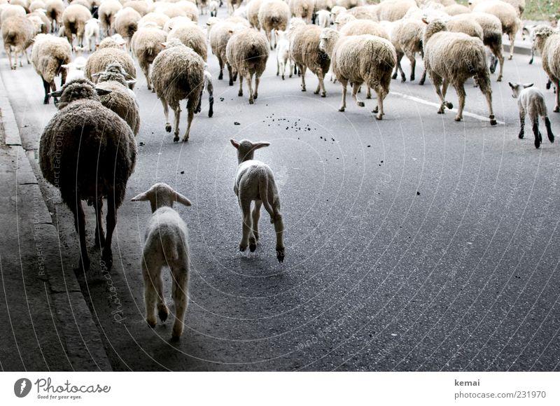 Schafumzug Umwelt Natur Verkehrswege Straße Wege & Pfade Tier Nutztier Fell Tiergruppe Herde Asphalt rennen Bewegung laufen Farbfoto Außenaufnahme Tag Schatten