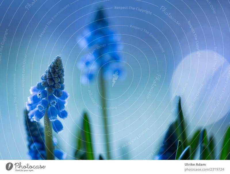 Frühling - Makro Blüten der blauen Traubenhyazinthen (Muscari) Natur Pflanze Blume Erholung ruhig Leben Garten Zufriedenheit leuchten Park Blühend weich Ostern