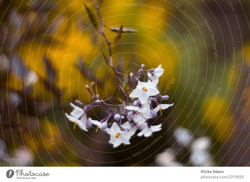 Nachtschatten - Jasmin (Solanum laxum) Natur Pflanze Sommer Blume Erholung ruhig Leben Blüte Innenarchitektur Frühling Garten Zufriedenheit leuchten Park