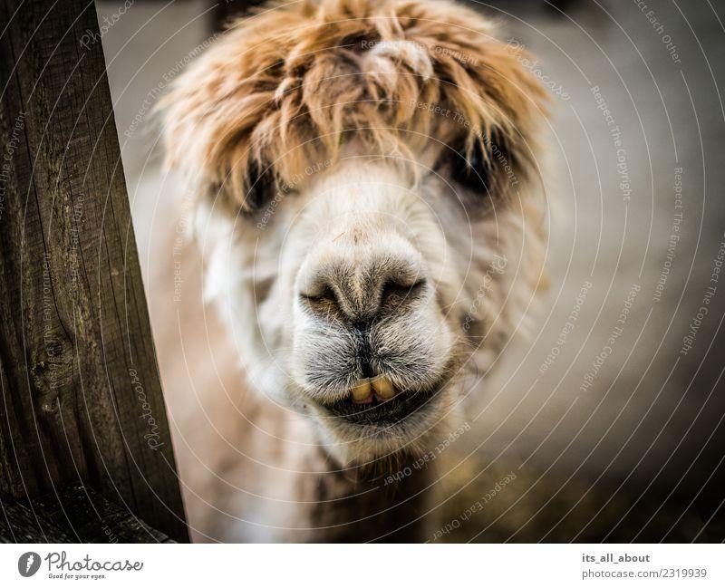 Alpaka Tier Tiergesicht Streichelzoo 1 Freundlichkeit lustig braun weiß Farbfoto Gedeckte Farben Außenaufnahme Nahaufnahme Textfreiraum links