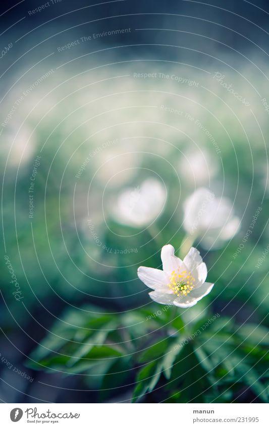 ein Blümchen Natur Frühling Blume Blatt Blüte Wildpflanze Buschwindröschen Frühlingsblume Frühblüher Duft hell schön natürlich Frühlingsgefühle Farbfoto