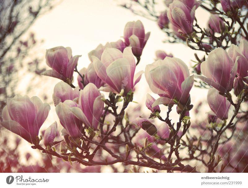 (ich) mag Nolien Natur schön Pflanze Blatt Umwelt Blüte Frühling Stimmung rosa ästhetisch Wachstum Wandel & Veränderung Vergänglichkeit Blühend
